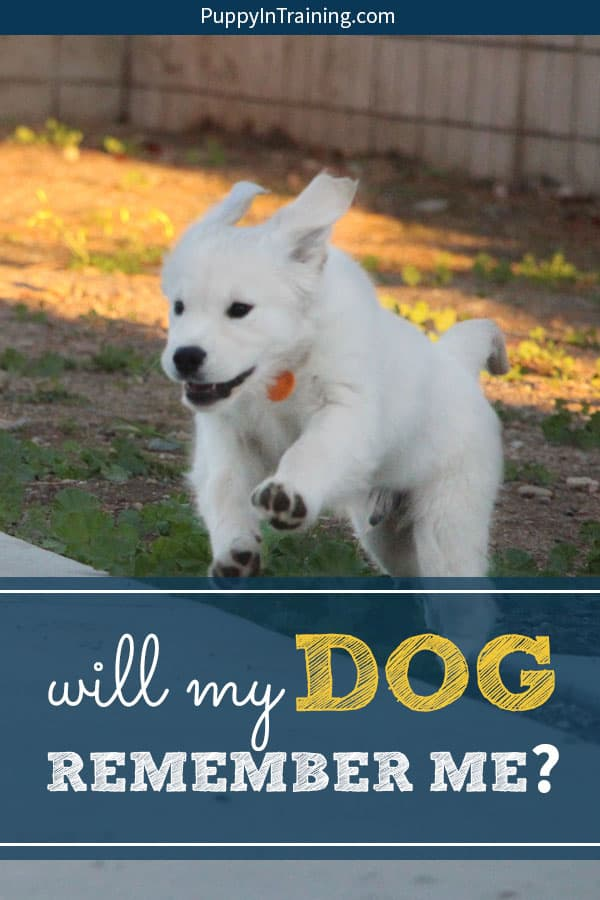 Will my dog remember me after a month? a year? Will my dog miss me? These are questions I ask every time I turn in another service dog puppy to start his advanced training. A dozen times and counting not including the litters of puppies and fosters. The answer is always the same…#willmydogrememberme #willmydogmissme #servicedogintraining #sdit #puppyintraining #guidedogpuppy #servicedogpuppy