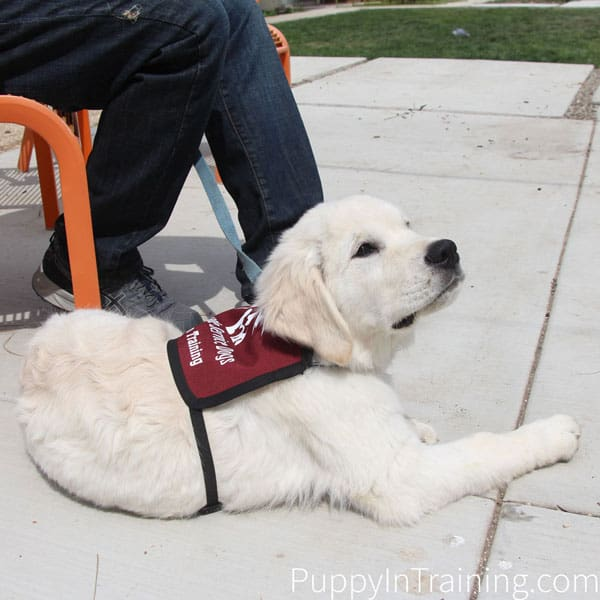 Charlie in his Cascade Service Dogs puppy jacket