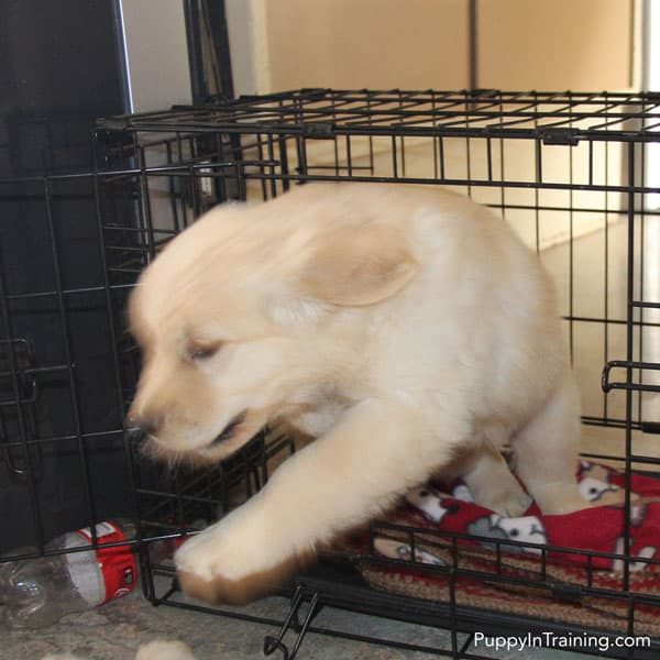 Golden Retriever puppy blur as he jumps out of wire crate.