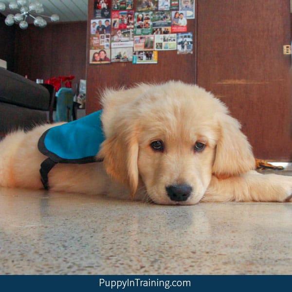 Bear a Service Dog in Training