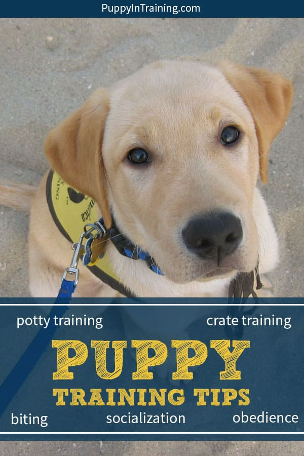 Our very best puppy training tips from our experiences as service dog puppy raisers. Everything from puppy biting, potty training, crate training, basic obedience, and socialization. If you're looking for tips on how to raise and train your puppy then check it out. #puppytrainingtips #puppytraining #howtotrainapuppy #puppytraining101 #puppytrainingobedience #cratetraining #pottytraining
