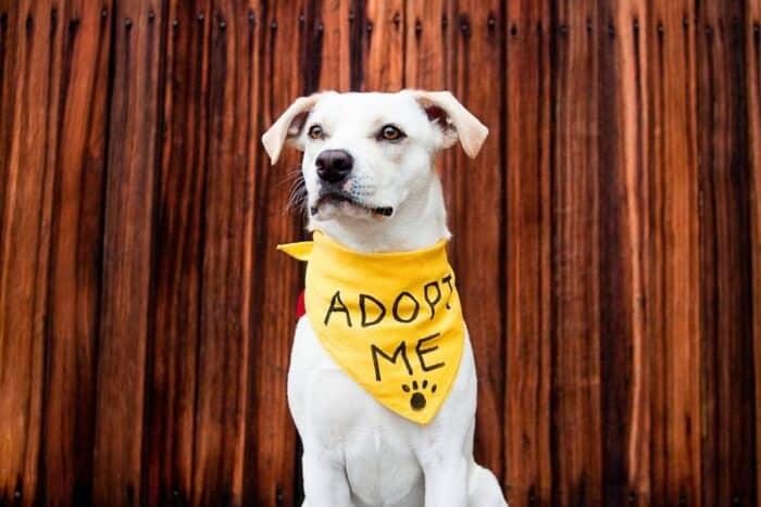 Adopting a Rescue Dog - White Dog wearing an adopt me bandana
