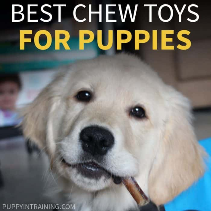 Best Chew Toys For Puppies - Golden Retriever puppy in blue vest with bully stick in his mouth