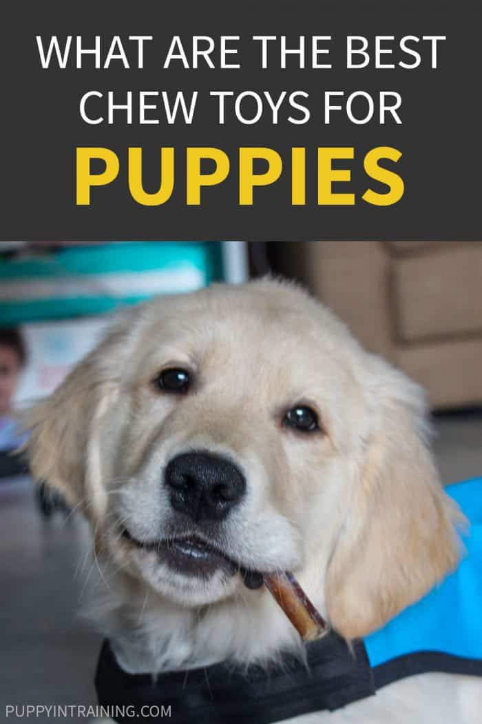 What Are The Best Chew Toys For Puppies? - Golden Retriever puppy with bully stick in his mouth wearing blue service dog vest.