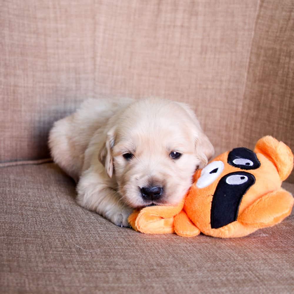 Golden Retriever puppy - Buster 4 weeks old