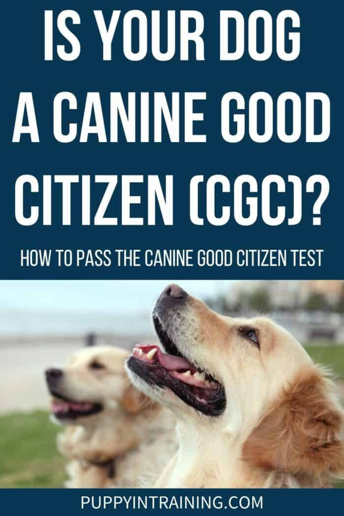 Is Your Dog A Canine Good Citizen (CGC)? - Golden Retriever looking up with Golden in the background