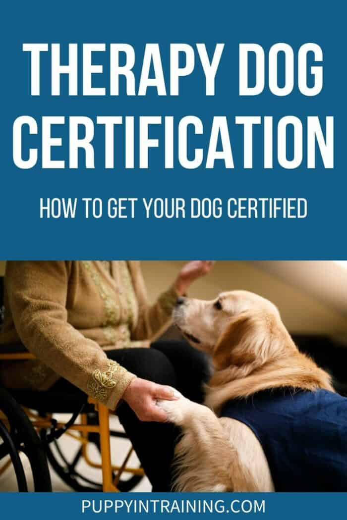 Therapy Dog Certification: How To Get Your Dog Certified - Golden Retriever in jacket giving paw.