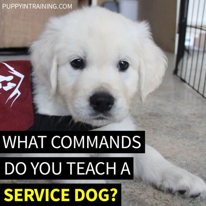 What Commands Do You Teach A Service Dog? - Image of a Golden Retriever puppy wearing a maroon dog vest.