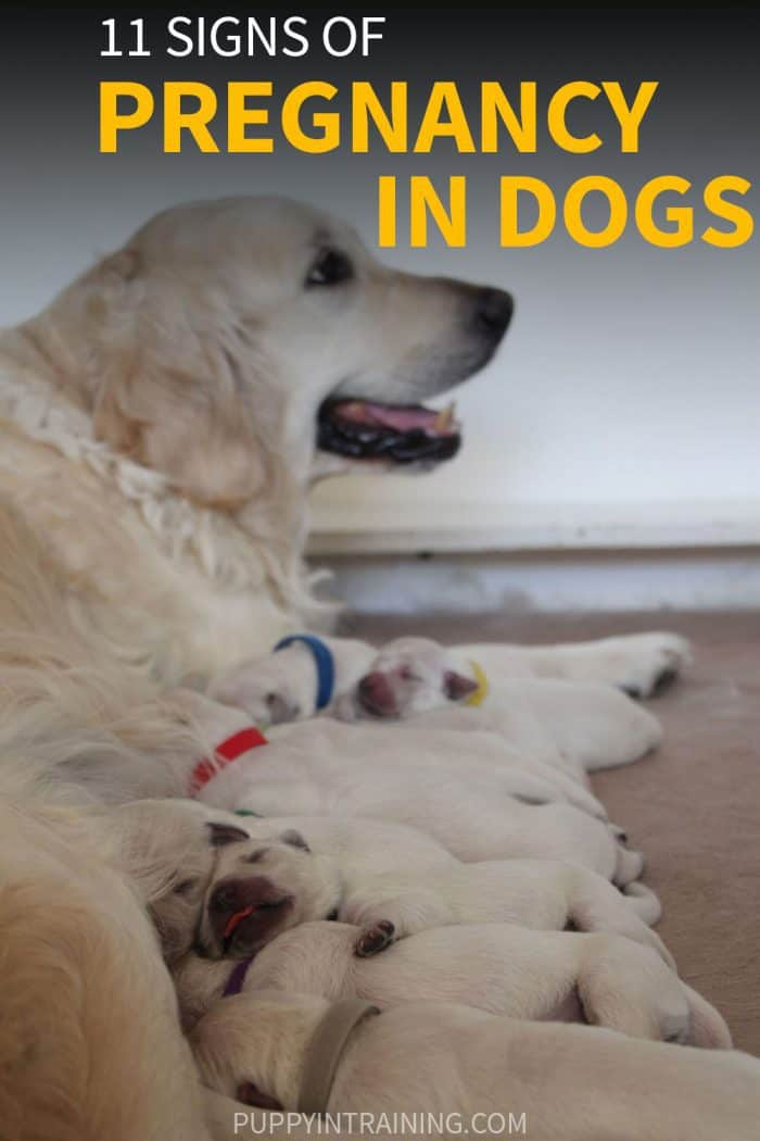 11 Signs of Pregnancy in Dogs - Golden Retriever in whelping box with 11 newborn puppies nursing.