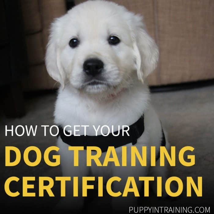 Dog Training Certification. Golden Retriever puppy looking at the camera.