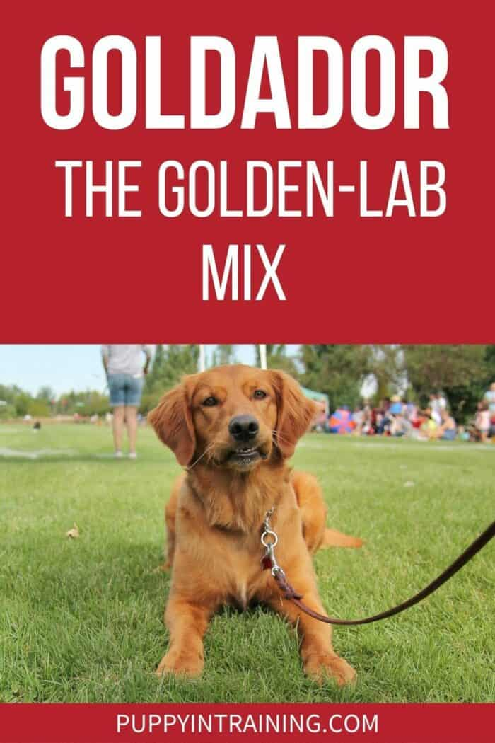 Goldador - The Golden-Lab Mix - a Golden Retriever Labrador Retriever mix is down in the grass with a funny look on his face.