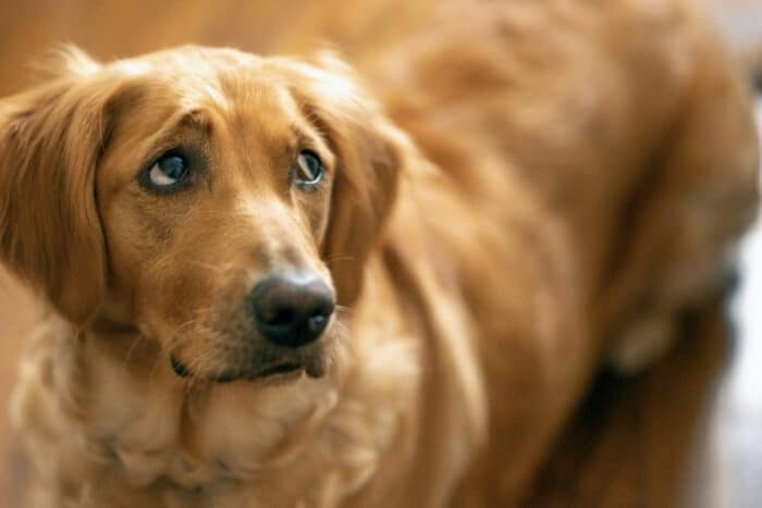 Why Does My Golden Panic When I Leave? - Worried Golden Retriever