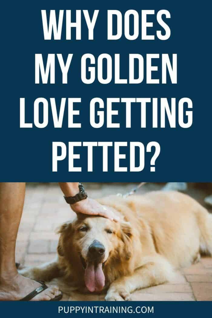 Why Does My Golden Love Getting Petted? - Golden Retriever lying down getting petted.