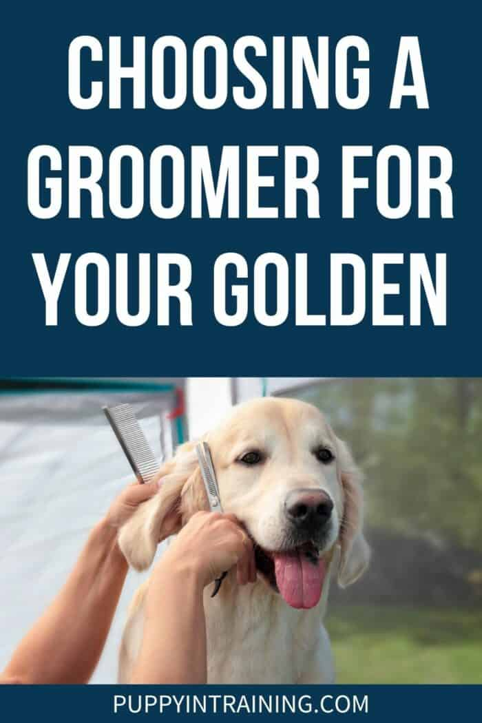 Choosing A Groomer For Your Golden - Golden Retriever getting his ears trimmed and groomed.