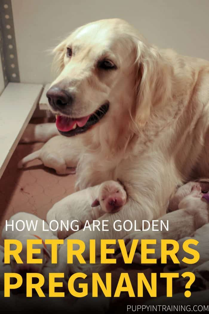 How Long Are Golden Retrievers Pregnant? - Raven with her litter of 8 puppies