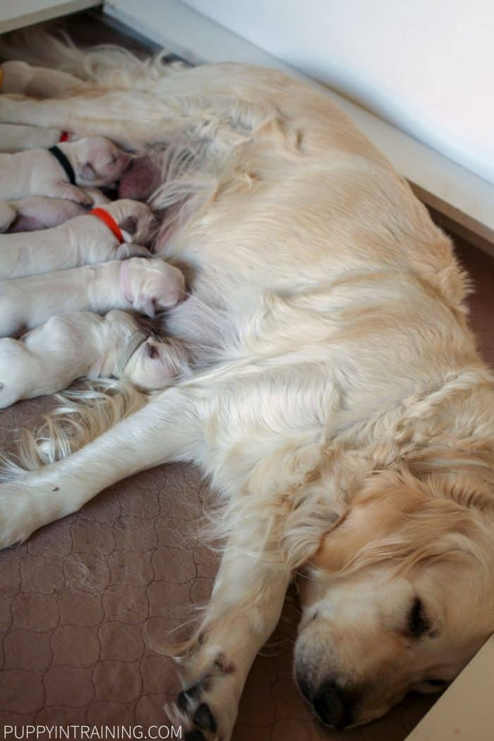 Raven and her Golden Retriever puppies days after being born.