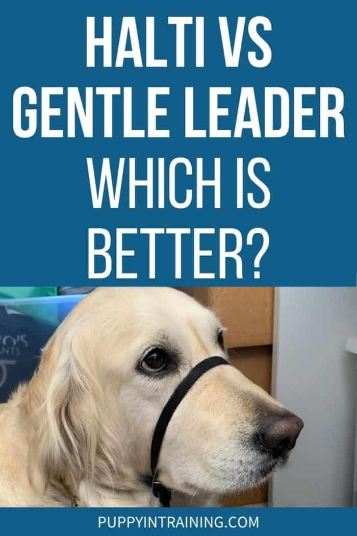 Halti Vs Gentle Leader - Which Is Better? - Golden Retriever wearing Gentle Leader