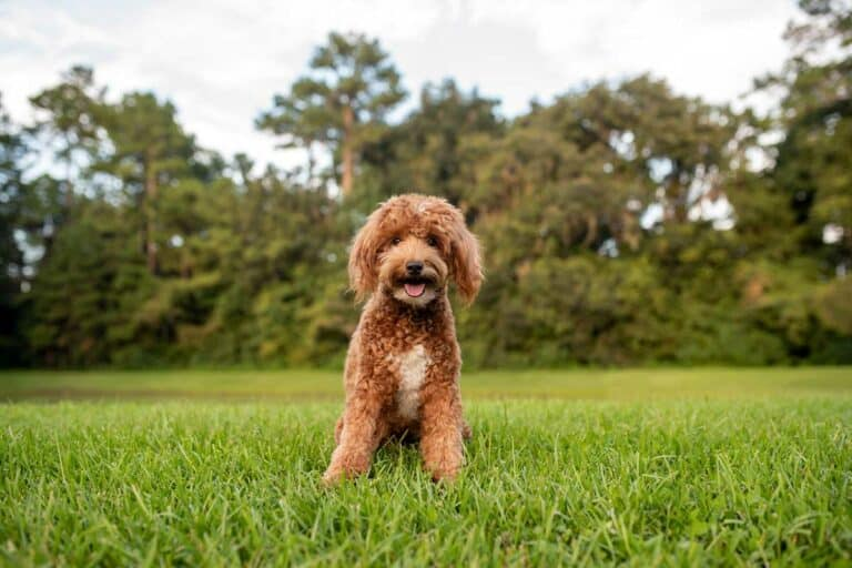 Mini Goldendoodle – Breed Info, Character, Training & More