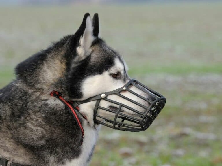 How To Muzzle Train a Dog (When a Dog Should Be Conditioned to a Dog Muzzle and How To Do It)