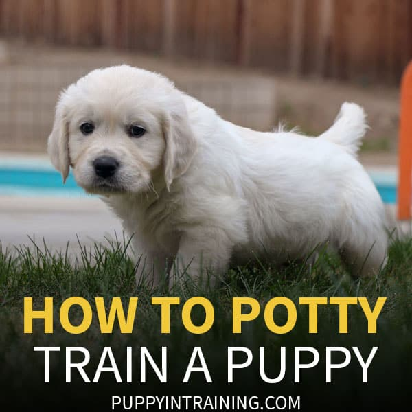 How to potty train a puppy - puppy peeing on the grass
