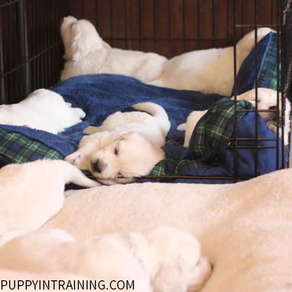 Crate Training Puppies - We start crating the pups at around 4 weeks