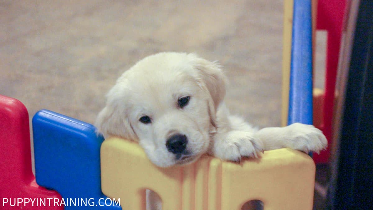 Search and Rescue Puppy? - Puppy practicing his climbing abilities