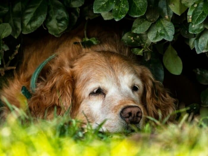 Senior Golden Retriever lying under a bush