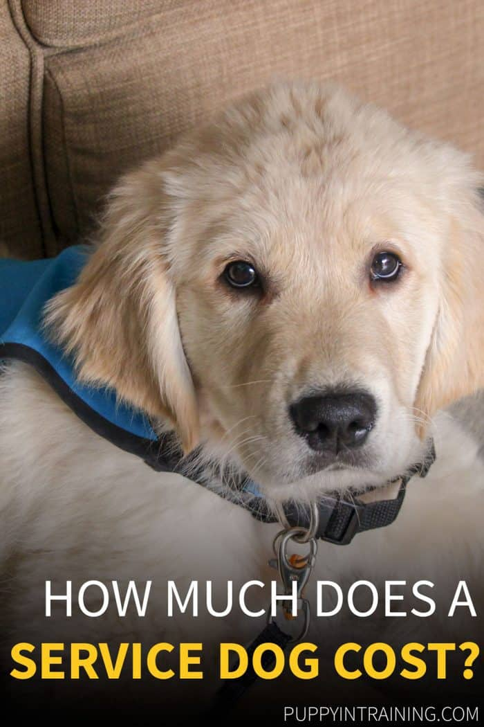 How Much Does A Service Dog Cost? - Golden Retriever puppy looking into the camera wearing service dog vest.
