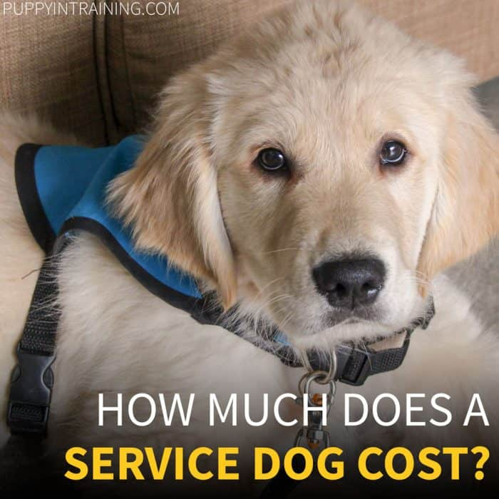 How Much Does It Cost To Train A Service Dog? - Golden service dog puppy looking at you.