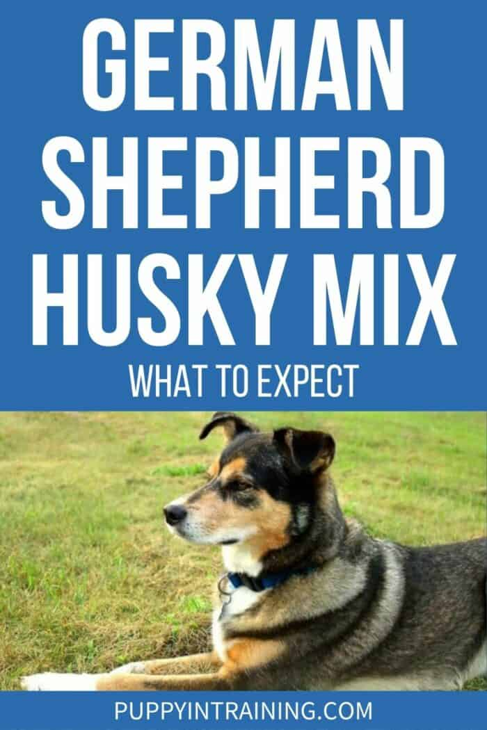 German Shepherd Husky Mix - What To Expect - Shepsky lying in the grass