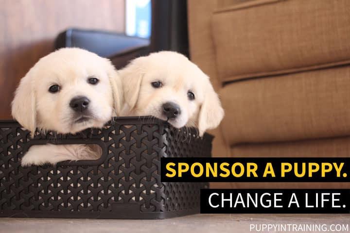 Sponsor A Service Dog Puppy Puppy In Training
