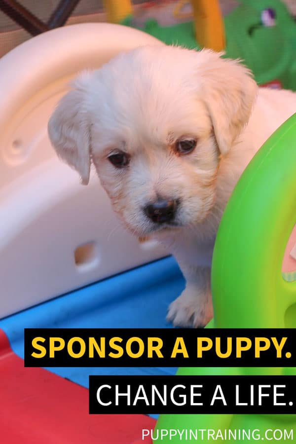 Sponsor A Puppy. Change A Life! - Golden puppy standing on slide