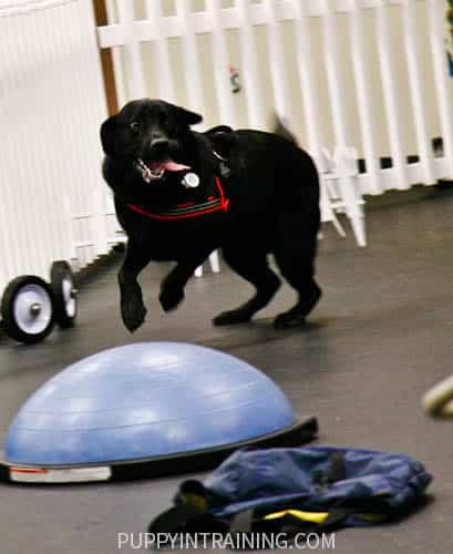 Black Lab, Stetson at K9 Nosework training. Tongue hanging out!