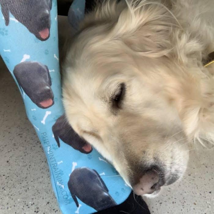 Dog printed socks - Golden Retriever, Raven lying on my Stetson dog printed socks while I work at my desk