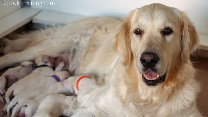 Whelping Supplies Checklist - Raven with her litter of Golden Puppies